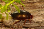 Ilybius fenestratus